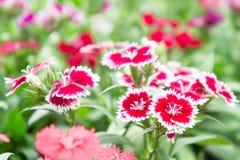 Λουλούδια Dianthus στο πάρκο, ζωηρόχρωμα λουλούδια στον κήπο Στοκ εικόνα με δικαίωμα ελεύθερης χρήσης