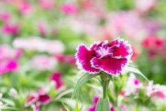 Λουλούδια Dianthus στο πάρκο, ζωηρόχρωμα λουλούδια στον κήπο Στοκ εικόνες με δικαίωμα ελεύθερης χρήσης