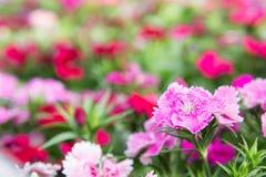 Λουλούδια Dianthus στο πάρκο, ζωηρόχρωμα λουλούδια στον κήπο Στοκ φωτογραφία με δικαίωμα ελεύθερης χρήσης