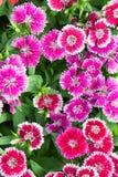 Λουλούδια Dianthus στο πάρκο, ζωηρόχρωμα λουλούδια στον κήπο Στοκ Φωτογραφίες