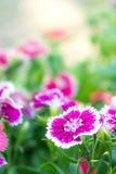 Λουλούδια Dianthus στο πάρκο, ζωηρόχρωμα λουλούδια στον κήπο Στοκ Εικόνες