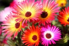 Λουλούδια Dorotheanthus Στοκ φωτογραφία με δικαίωμα ελεύθερης χρήσης
