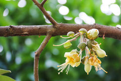 Λουλούδια Durian Στοκ Εικόνα