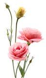 Λουλούδια Eustoma Στοκ Εικόνες