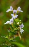Λουλούδια Eyebright στοκ φωτογραφία με δικαίωμα ελεύθερης χρήσης