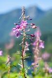 Λουλούδια Fireweed που αυξάνονται εκτός από τη λίμνη βουνών Στοκ Εικόνες