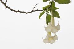 Λουλούδια Floripondio στοκ φωτογραφία με δικαίωμα ελεύθερης χρήσης