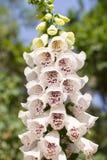 Λουλούδια Foxglove Στοκ Εικόνες