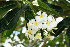 Λουλούδια Frangipani, άσπρο λουλούδι SPA plumeria τροπικό Στοκ εικόνα με δικαίωμα ελεύθερης χρήσης