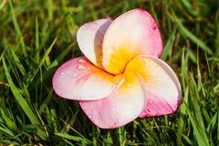 Λουλούδια Frangipani ή ρόδινα λουλούδια Στοκ Εικόνες