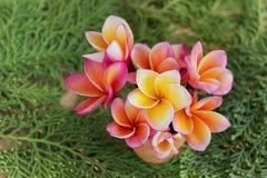 Λουλούδια Frangipani ή plumeria στο μικρό βάζο στη φρέσκια πράσινη καρφίτσα Στοκ φωτογραφία με δικαίωμα ελεύθερης χρήσης