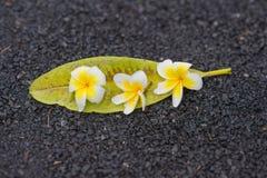 Λουλούδια Frangipani με τα φύλλα στην οδό Στοκ Φωτογραφίες