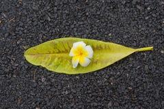 Λουλούδια Frangipani με τα φύλλα στο δρόμο Στοκ Φωτογραφίες