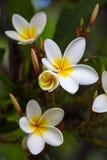 Λουλούδια Frangipani που ανθίζουν σε έναν κλάδο Στοκ Φωτογραφίες