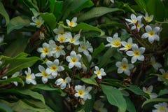 Λουλούδια Frangipani που ανθίζουν σε έναν κλάδο Στοκ Φωτογραφία