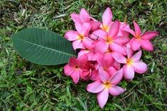 Λουλούδια Frangipani (ρόδινο λουλούδι Plumeria) Στοκ φωτογραφίες με δικαίωμα ελεύθερης χρήσης