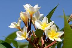 Λουλούδια Frangipani στο φωτεινό υπόβαθρο ουρανού Στοκ Εικόνες
