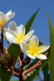 Λουλούδια Frangipani στο φωτεινό υπόβαθρο ουρανού Στοκ Φωτογραφία