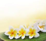 Λουλούδια Frangipani στο φύλλο μπανανών Στοκ Εικόνα