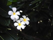 Λουλούδια frangipani Plumeria άσπρα και κίτρινα με το πράσινο φύλλο Στοκ Φωτογραφίες