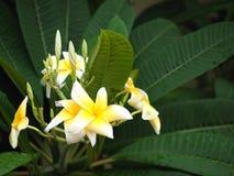 Λουλούδια frangipani Plumeria άσπρα και κίτρινα με το πράσινο φύλλο Στοκ Εικόνα