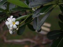 Λουλούδια frangipani Plumeria με τα φύλλα Στοκ φωτογραφία με δικαίωμα ελεύθερης χρήσης