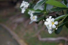 Λουλούδια frangipani Plumeria με τα φύλλα Στοκ εικόνες με δικαίωμα ελεύθερης χρήσης