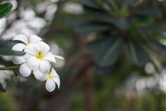 Λουλούδια frangipani Plumeria με τα φύλλα Στοκ Εικόνες