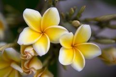 Λουλούδια frangipani Plumeria Στοκ εικόνα με δικαίωμα ελεύθερης χρήσης