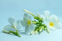 Λουλούδια Frangipani Tropcal Στοκ Εικόνα