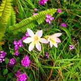 Λουλούδια Freesias και lantana Στοκ φωτογραφία με δικαίωμα ελεύθερης χρήσης