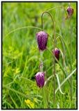 Λουλούδια Fritillary που αυξάνονται σε ένα ανοικτό λιβάδι με το πολύβλαστο πράσινο υπόβαθρο χλόης Στοκ Εικόνα