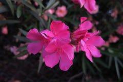 Λουλούδια Fusiacolored με το σκοτεινό υπόβαθρο ελιών Στοκ φωτογραφία με δικαίωμα ελεύθερης χρήσης