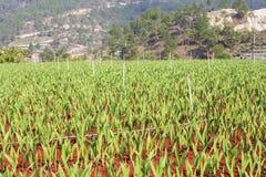 Λουλούδια Gladiolus στον τομέα στοκ φωτογραφία με δικαίωμα ελεύθερης χρήσης