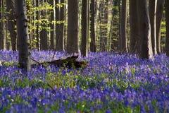 Λουλούδια Hallerbos Bluebells Στοκ φωτογραφίες με δικαίωμα ελεύθερης χρήσης