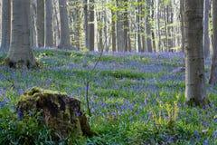 Λουλούδια Hallerbos Bluebells Στοκ φωτογραφία με δικαίωμα ελεύθερης χρήσης