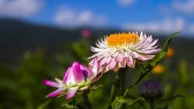 Λουλούδια Helichrysum ή αχύρου Στοκ εικόνα με δικαίωμα ελεύθερης χρήσης