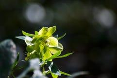 Λουλούδια Hellebore άνοιξη στην ηλιοφάνεια μουτζουρωμένη Στοκ Φωτογραφίες