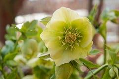 Λουλούδια Helleborus, λουλούδια άνοιξη Στοκ Φωτογραφία