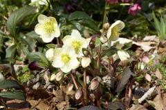 Λουλούδια Helleborus την πρώιμη άνοιξη Στοκ εικόνες με δικαίωμα ελεύθερης χρήσης