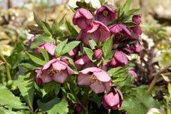 Λουλούδια Helleborus την πρώιμη άνοιξη Στοκ Εικόνες