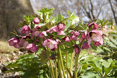 Λουλούδια Helleborus την πρώιμη άνοιξη Στοκ φωτογραφία με δικαίωμα ελεύθερης χρήσης