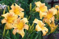 Λουλούδια Hemerocallis γύρω Στοκ Εικόνες