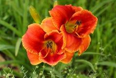 Λουλούδια Hemerocallis Στοκ Εικόνες