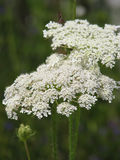 Λουλούδια Hemlock Στοκ φωτογραφίες με δικαίωμα ελεύθερης χρήσης