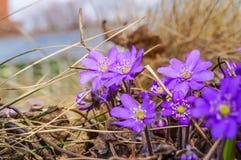 Λουλούδια hepatica Anemone, λουλούδια άνοιξη Στοκ φωτογραφίες με δικαίωμα ελεύθερης χρήσης