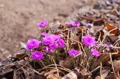 Λουλούδια hepatica Anemone, λουλούδια άνοιξη Στοκ Εικόνες