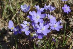 Λουλούδια hepatica Anemone στο δάσος Στοκ εικόνα με δικαίωμα ελεύθερης χρήσης
