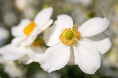 Λουλούδια honorine hybrida Anemone jobert Στοκ Φωτογραφίες