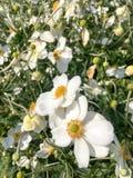 Λουλούδια honorine hybrida Anemone jobert Στοκ Φωτογραφία